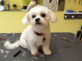 malteser 9, scheren, trimmen, Hundestylist